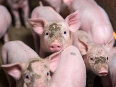cerdos-chanchitos-incendio-bomberos-rescatados-parrilla-comida-salchicas-redes-sociales-criticas