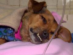 Bombon perra maltrato animal despellejada veterinaria abandono calle