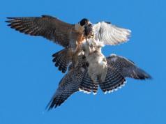 halcones-peregrinos-la-calera-delivery-salvaje