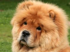 perro-chow-chow-joven-agredido-san-francisco
