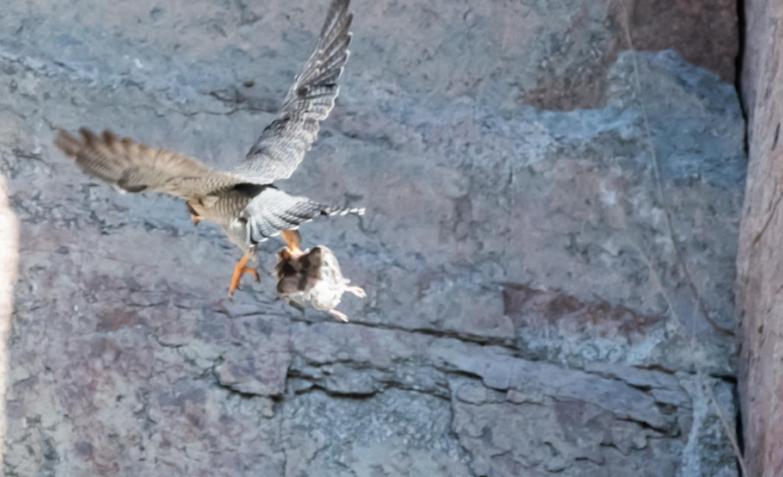 halcones peregrinos la calera