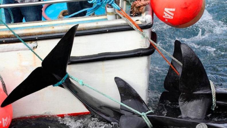 Ballenas matanza