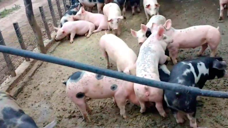 cerdo-canals-triquinosis-casos-contagios-eldoce