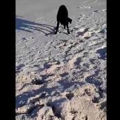 Perro-cangrejo