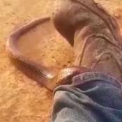 Serpiente-pantalon-australia