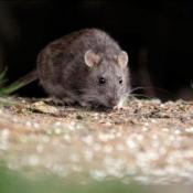 hantavirus-roedores-enfermedad-salud