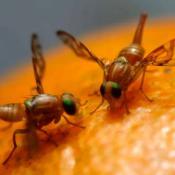 moscas-esteriles