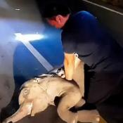 rcp bebé elefante